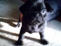 I have 4 adorable loving pug puppies for sale. They are