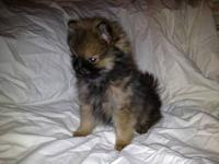 For Sale Pomeranian Puppy: Last one left for this