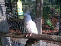 I have an albino baby cockatiel pure white with red
