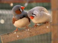 For sale zebra finches babies. Perfect health. Zebra