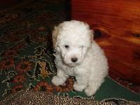 I have 3 CKC Reg Toy Poodle Puppies For Sale. I have a