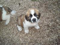I have female St.Bernard Puppies available there are no