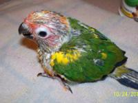 For sale baby sun conures will be DNA sexed before