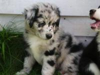 I have For Sale 5 MINI Australian Shepherd Puppies. I