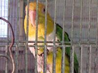 BIRDS FOR SALE OR TRADE 03-19-2012 Breeders male