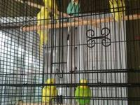 for sale parakeet $15 c/u o $30 the couple , famale and
