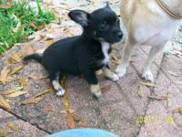 TWO FEMALES,TWO MALES,POMERANIAN/CHIHUAHUA,MIX,PUPPIES