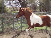 spotted saddlebred gelding 15 hh 8 yr's old green broke