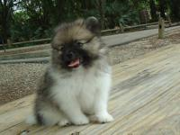 Available beautiful tiny Pomeranian puppy -male with