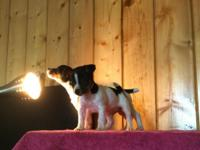 Available for sale Jack Russell rat terrier cross