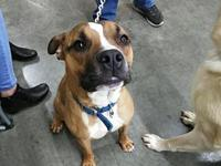 Ford's story 2yr old pit/boxer mix. Energetic and