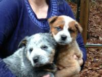 Gorgeous one red and one blue male heelers. 9 weeks old