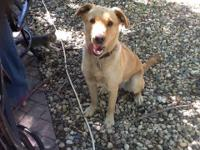 Dashia is 1 1/2 year old Lab mix. She is a great dog.
