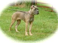 We have this very nice female cane corso. She is 9