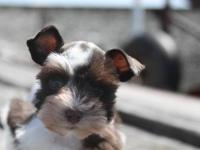 You'll never meet a Miniature Schnauzer like Forrest!