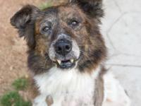 Fort is a sweet Aussie/Border Collie mix that was in a