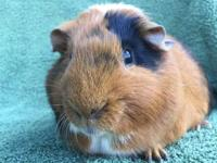 Fortunato is a neutered male American with orange,