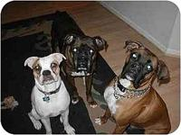 FOSTER A BOXER!'s story   The dogs shown in this