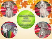 Presidential Great Danes is proud to present our very