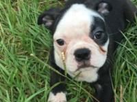 Hello I have four CKC registered Boston terrier puppies