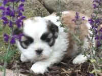 We have four adorable Shih Tzu puppies looking for