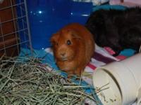 I currently own four beautiful adult female guinea