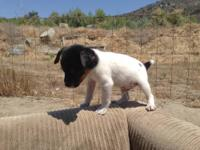 Jack Russell Terrier Puppies-8wks looking for loving