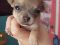 Hi, I have four purebred Chihuahua puppies 2 males and