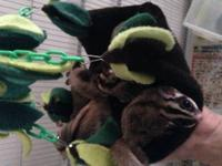 Four sugar gliders. Two females and Two males. The