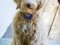 Must-see beautiful fourth-generation Labradoodle