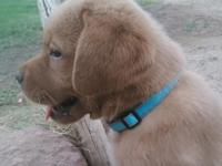 AKC Registered English Labrador Retriever male puppy