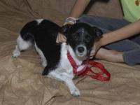 Fox Terrier - Quesmeralda - Medium - Young - Female -