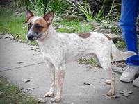 My story Fox- Young Male Red HeelerNot content with