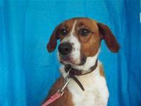 Foxhound - Bernie - Medium - Young - Male - Dog