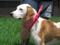 Foxhound - Chelsea 2 Duke - Medium - Baby - Male - Dog