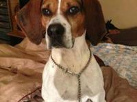 Foxhound - Earl - Crosspost - Large - Adult - Male -