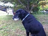 Foxhound - Gordon - Large - Senior - Male - Dog Gordon