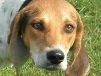 Foxhound - Ike - Medium - Young - Male - Dog 'Ike' -