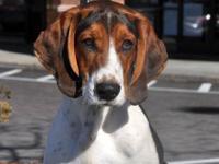 Foxhound - Josie - Medium - Adult - Female - Dog Josie