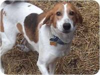 Foxhound - Mia (tr) - Medium - Adult - Female - Dog I