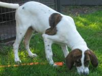 Foxhound - Milo - Medium - Baby - Male - Dog If