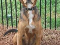 Foxhound - Penny - Medium - Adult - Female - Dog
