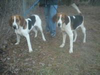 Foxhound - Pete - Large - Adult - Female - Dog Here is