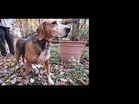 Foxhound - Petunia (hh) - Medium - Adult - Female -
