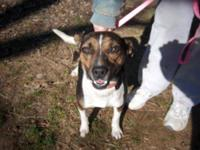 Foxhound - Sarah Mae - Large - Adult - Female - Dog