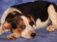 Foxhound - Shoeshine - Medium - Baby - Male - Dog