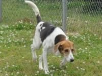 Foxhound - Sophie - Large - Adult - Female - Dog Sophie