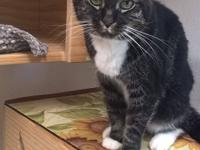 Foxy is a silver-and-white tabby with absolutely
