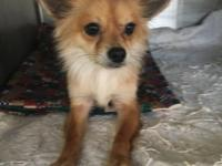 Foxy is a 2 yo female Pom mix. She's very friendly and