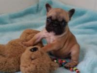 Foxy is going to be a Mini Frenchie. She has a babydoll